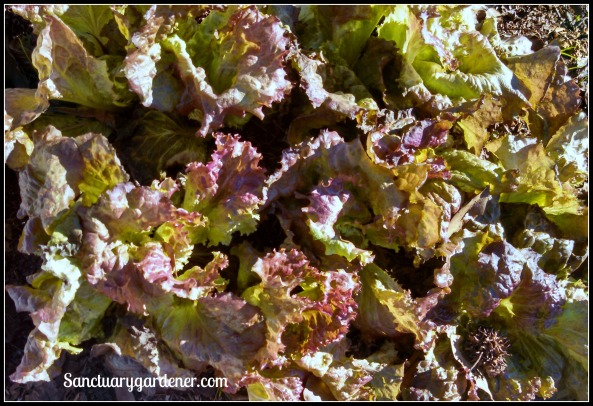 Red Sails lettuce ~ survived hard frost