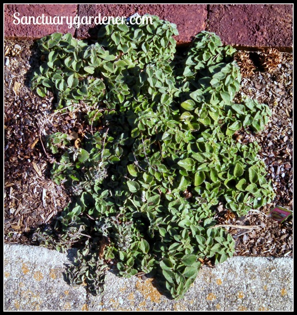 Oregano ~ survived hard frost