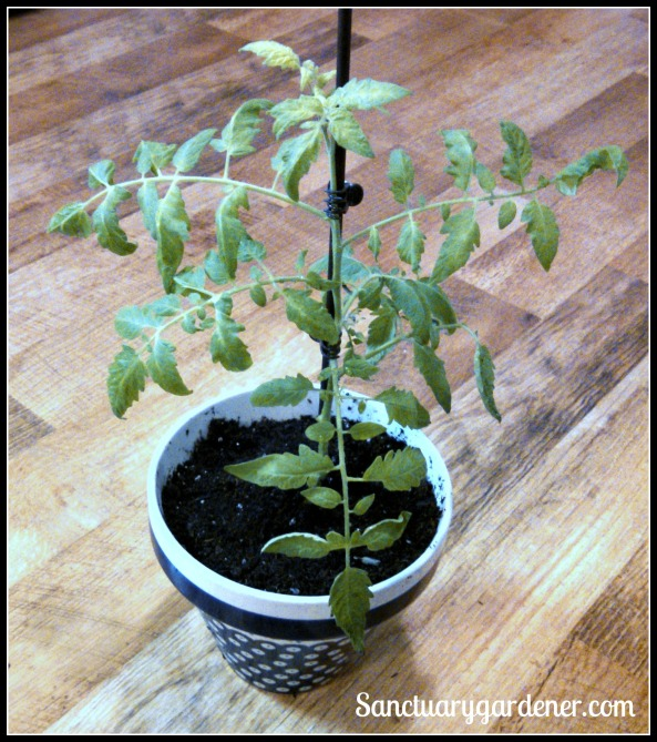 Transplanted Black Krim tomato cutting