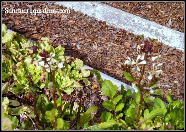 Arugula blooming