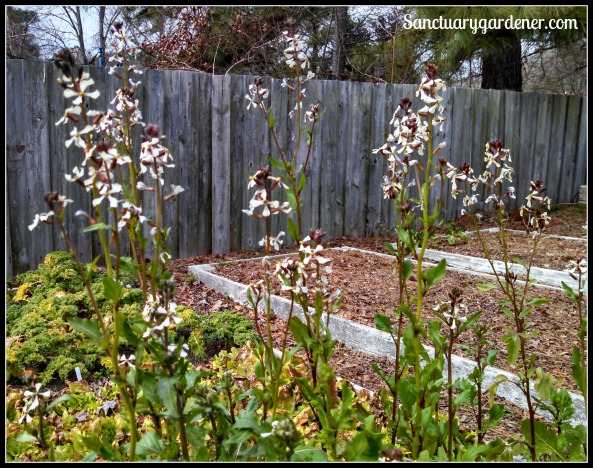 Arugula flowers