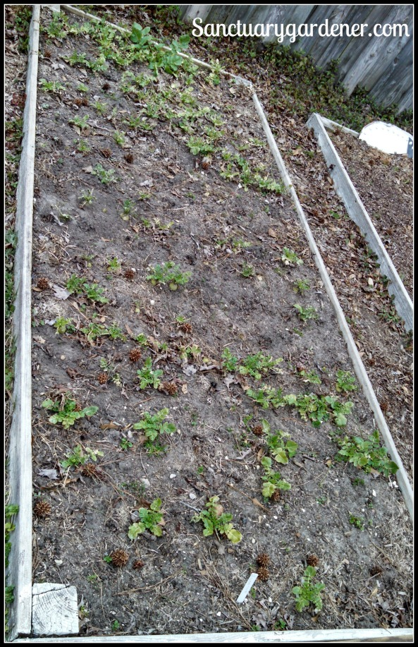 Bed 8 in February 2015 ~ Radishes