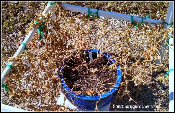 Dwarf gray peas killed by frost