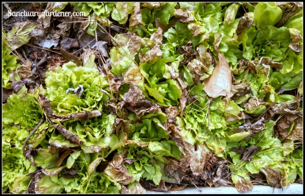 Escarole after frost