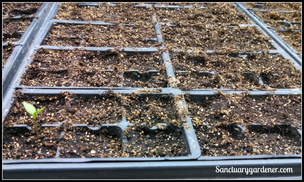 Green bell pepper seedling
