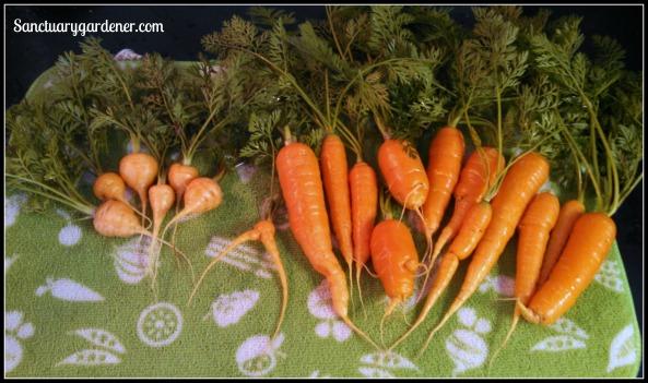 Parisienne & Scarlet Nantes carrots