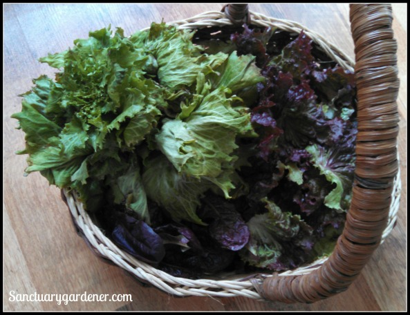 Reine des Glaces, Red Sails, and Red Romaine lettuce
