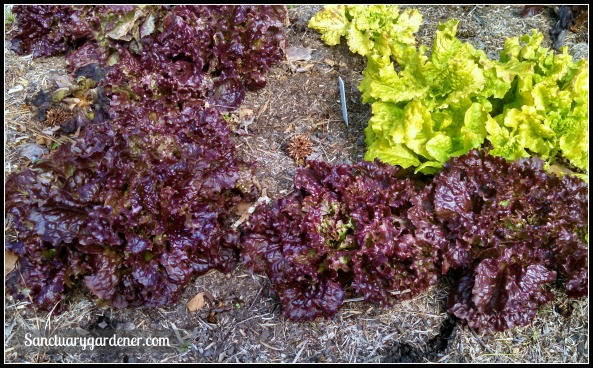 Red Sails & Black Seeded Simpson lettuce