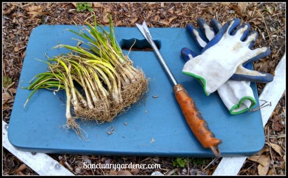 Ready to plant onion sets