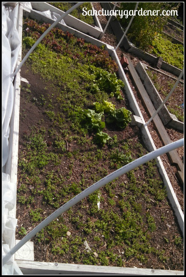 Bed 15 in March 2015 ~ Lettuce