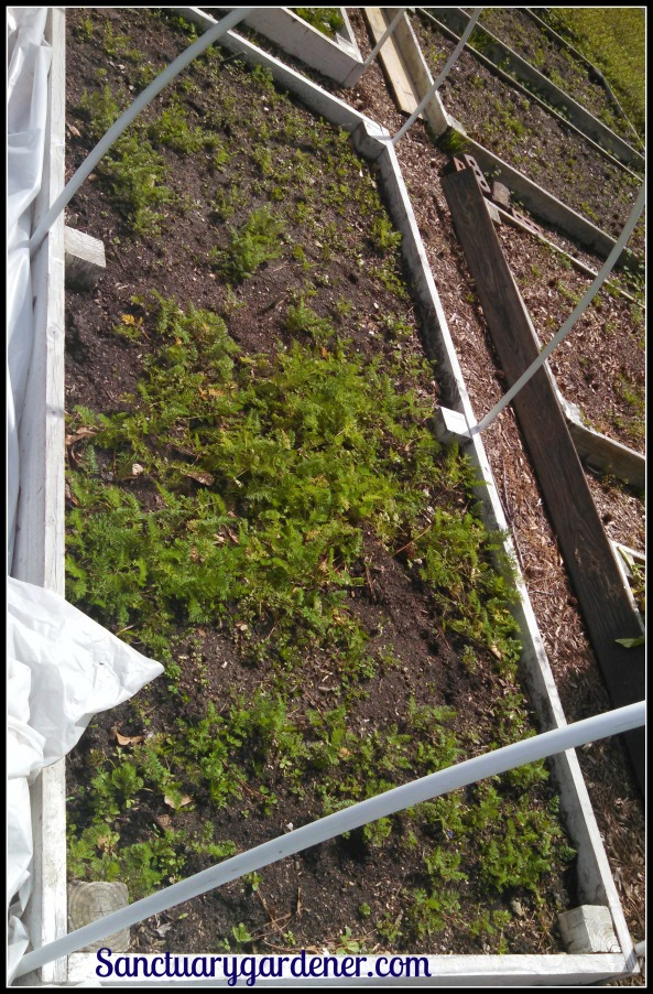 Bed 16 in March 2015 ~ Carrots