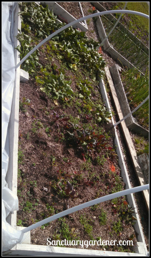 Bed 18 in March 2015 ~ Beets