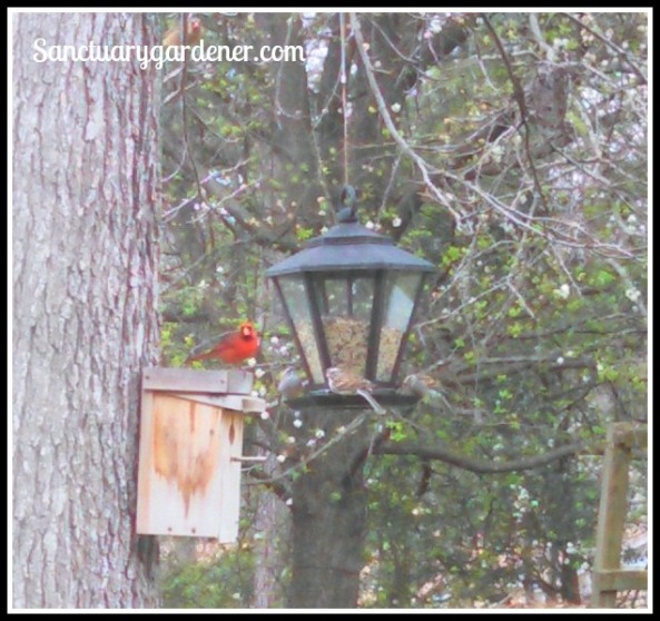 Male & female cardinals waiting their turn at the feeder