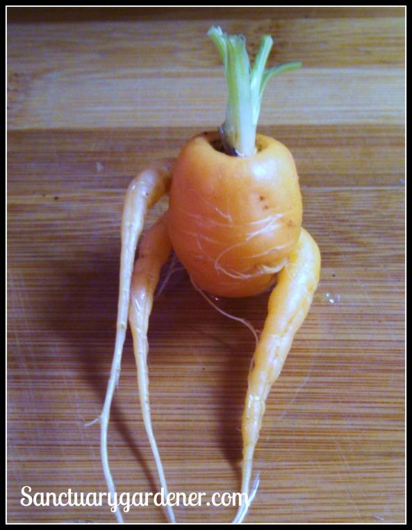 Funky Scarlet Nantes carrot