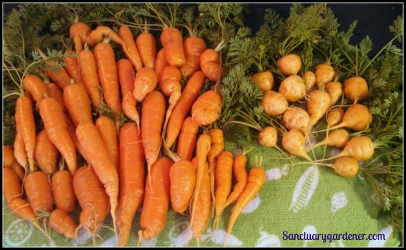 Scarlet Nantes & Parisienne carrots