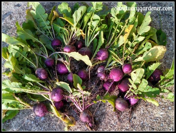 Purple plum radishes