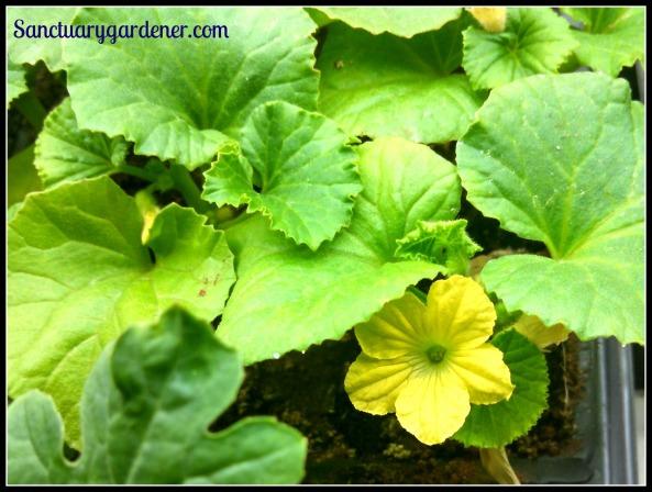 Noir de Carmes melon flowering
