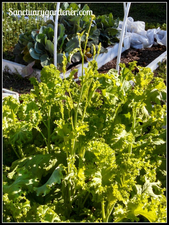 Mustard greens bolting