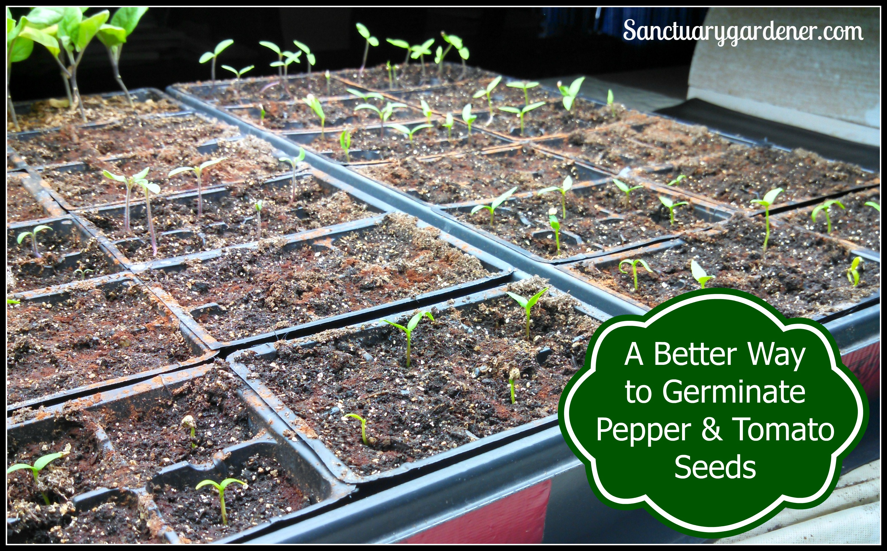Germinating Problems Of Black Pepper Seeds 79