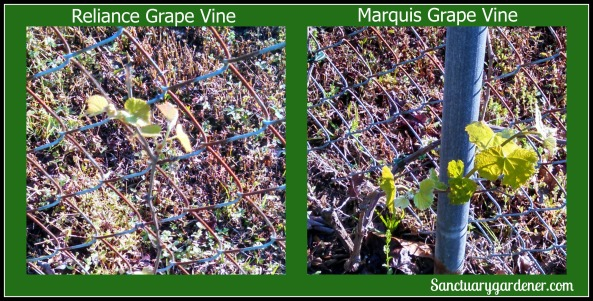 New grape vine growth