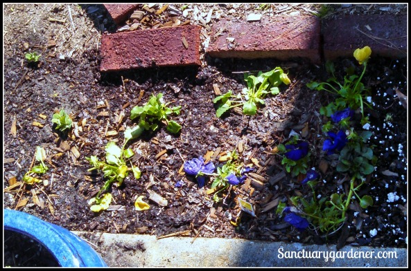 New yellow pansies planted
