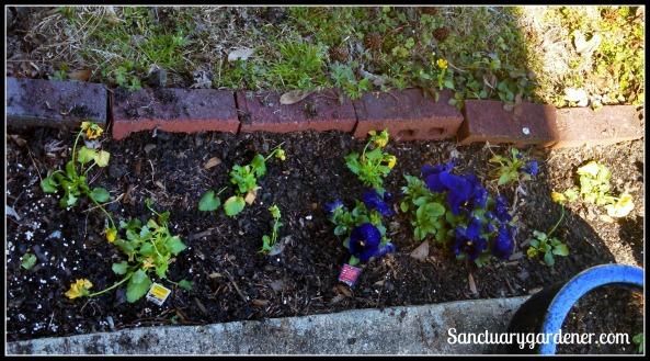 New yellow pansies