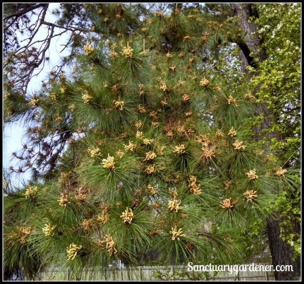 Pine tree making pollen