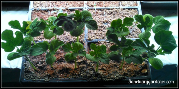 Watermelon seedlings