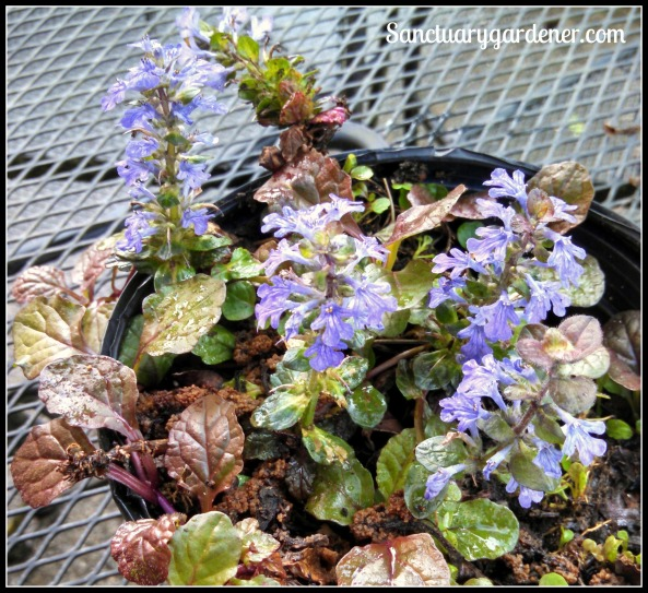 Ajuga - come back to life