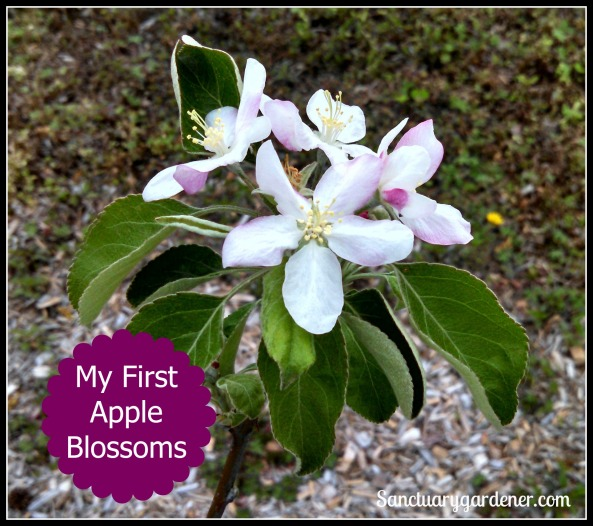 Apple Blossom pic