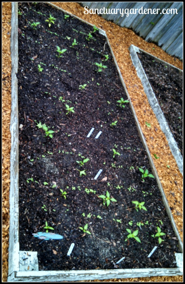Bed 10 in April 2015 ~ Sweet peppers & lettuce