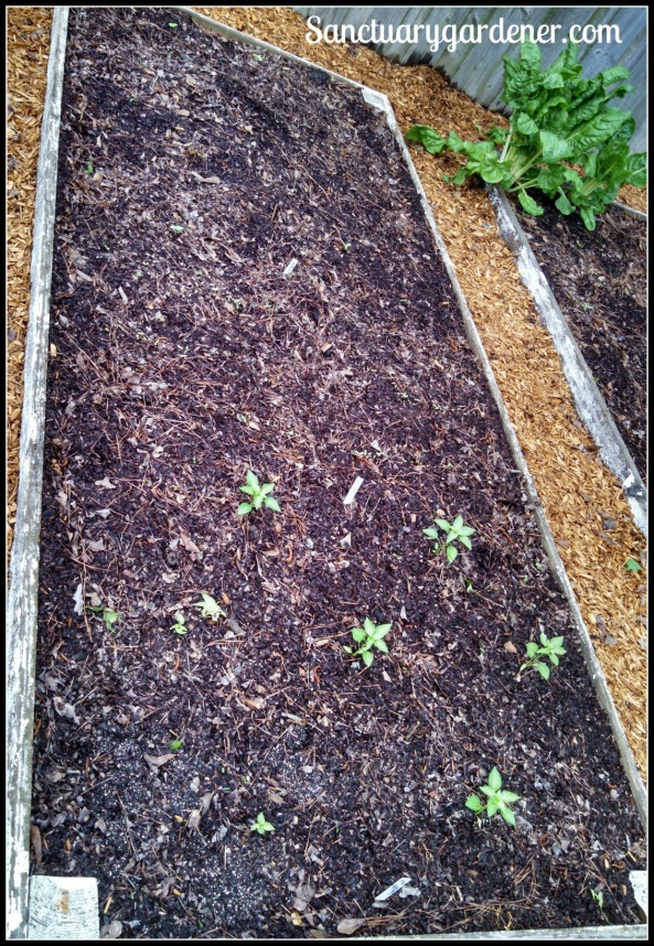 Bed 11 in April 2015 ~ Okra, lettuce & chili peppers