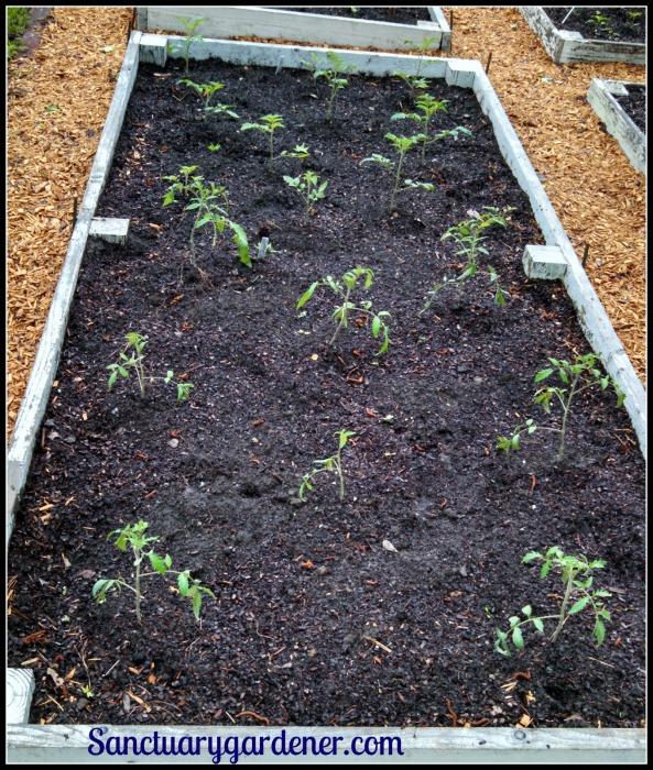 Bed 15 in April 2015 ~ Paste tomatoes