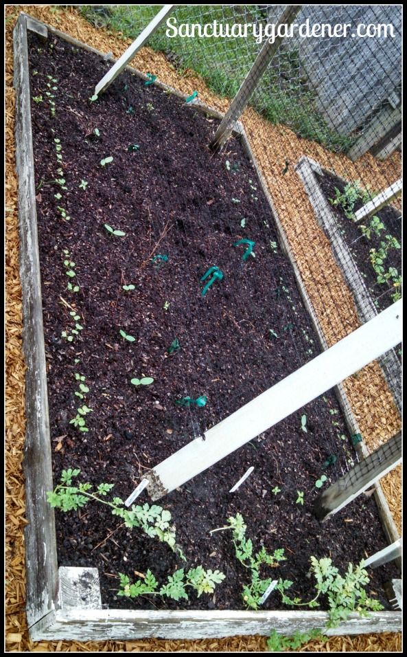 Bed 6 in April 2015 ~ Cucumbers, melons, & radishes