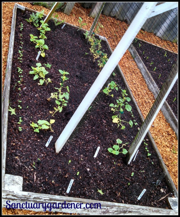 Bed 7 in April 2015 ~ Melons & radishes