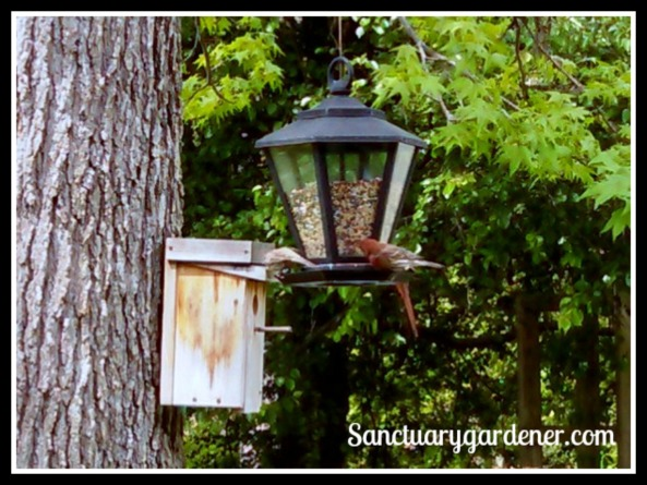 House finch at my feeder