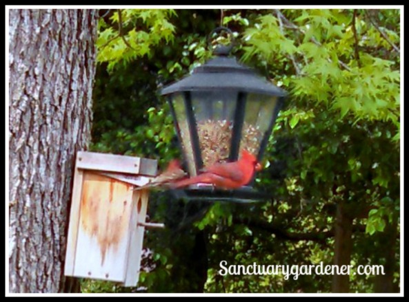 Male cardinal at my feeder