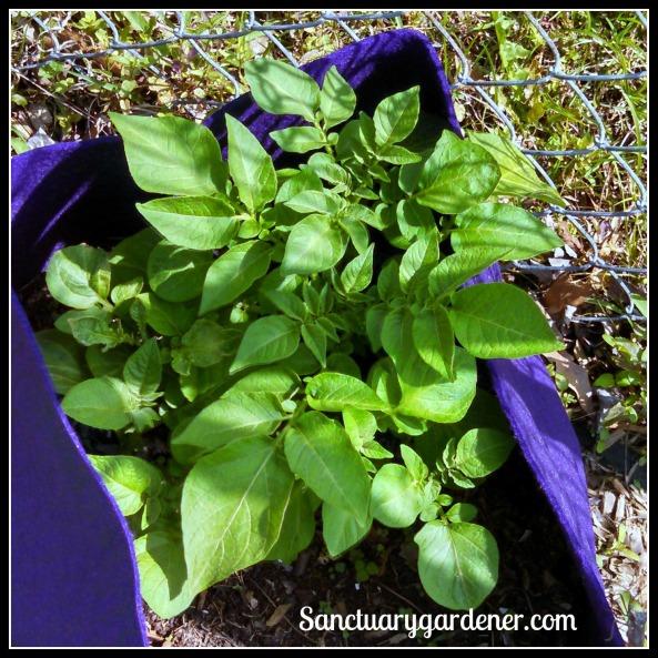 Fingerling potato vines