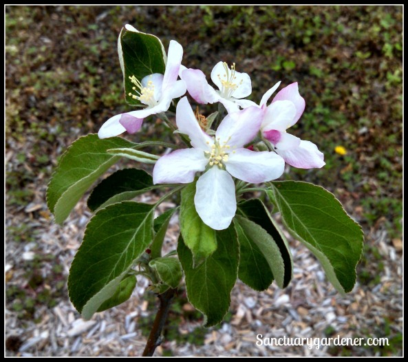 Granny Smith apple blossom