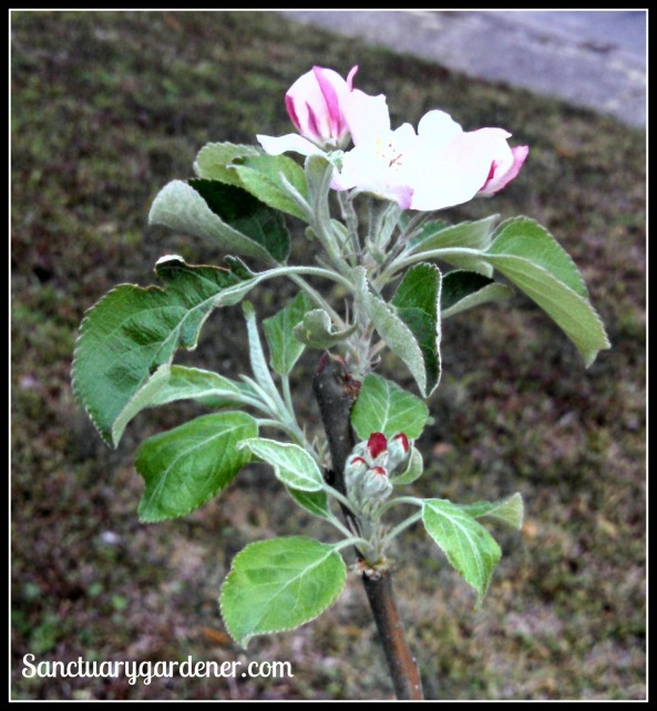Granny Smith apple blossom with buds