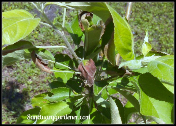 Granny Smith apple leaves turning brown