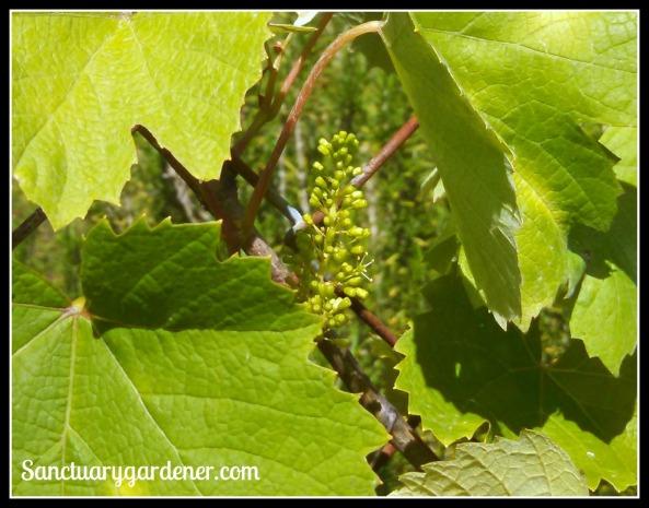 Marquis grape buds