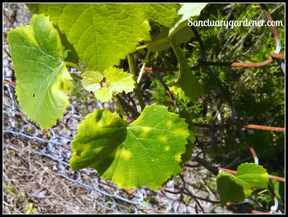 Reliance grape leaves with downy mildew