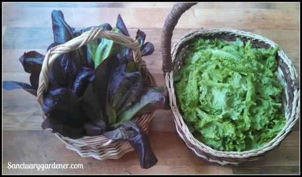 Red Romaine (left) & Black Seeded Simpson lettuce (right)
