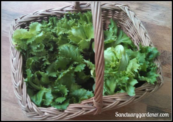 Reine des Glaces lettuce