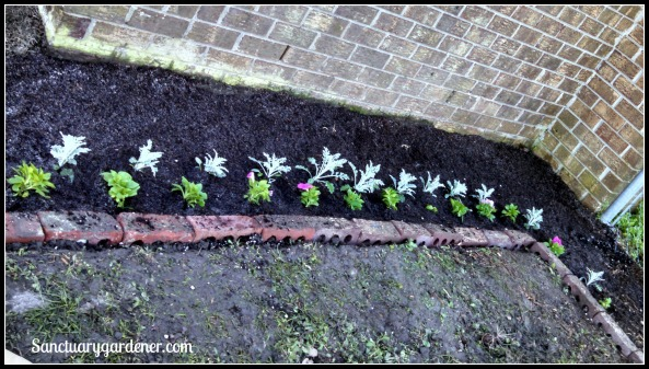 L Garden - Dusty Miller & pink petunias planted