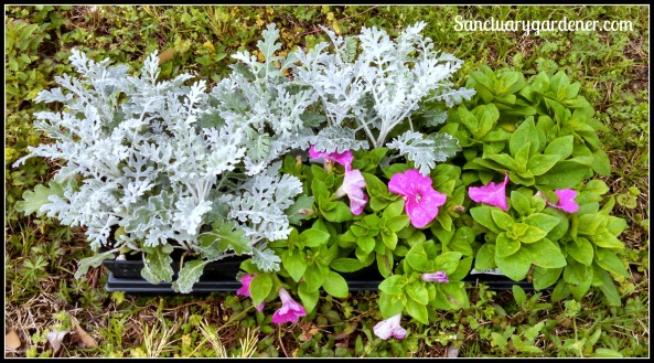 Dusty Miller & Petunias for planting