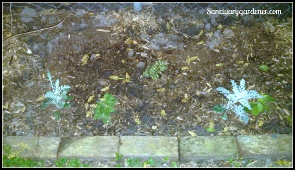 L Garden - Red Beauty fern & annuals between my hydrangea