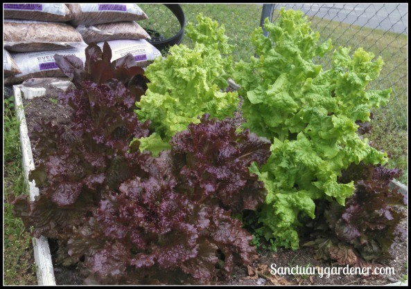 Red romaine (back left), red sails (foreground), & black seeded simpson lettuce (right)