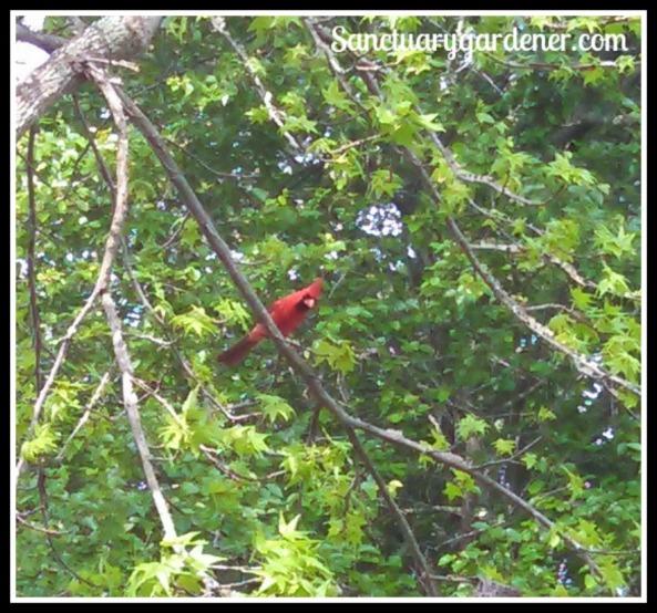 Male cardinal #1 watching me eat breakfast